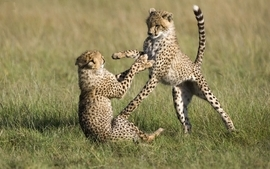 Animals wildlife cheetahs cubs baby animals wallpaper