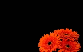 Flowers black background orange flowers wallpaper