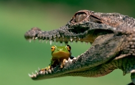 Frogs crocodile wallpaper