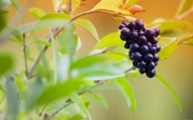 Fruits food grapes wallpaper