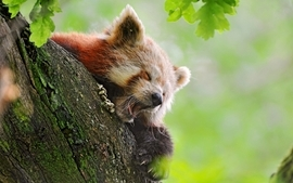 Nature animals firefox red pandas wallpaper