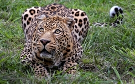 Nature animals wildlife leopards wallpaper