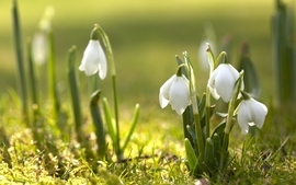 Nature flowers spring snowdrops white flowers wallpaper