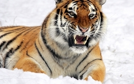 Nature snow animals tigers cold teeth wallpaper