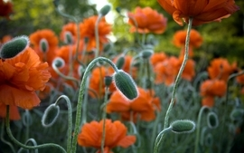 Orange flowers poppies wallpaper