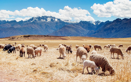 Peru Sheep Fields wallpaper
