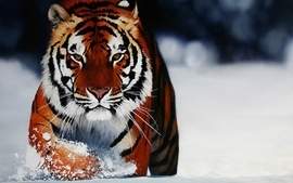 Snow tigers wallpaper