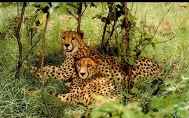 Wildlife leopards wallpaper