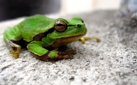 Women frogs amphibians 2 wallpaper
